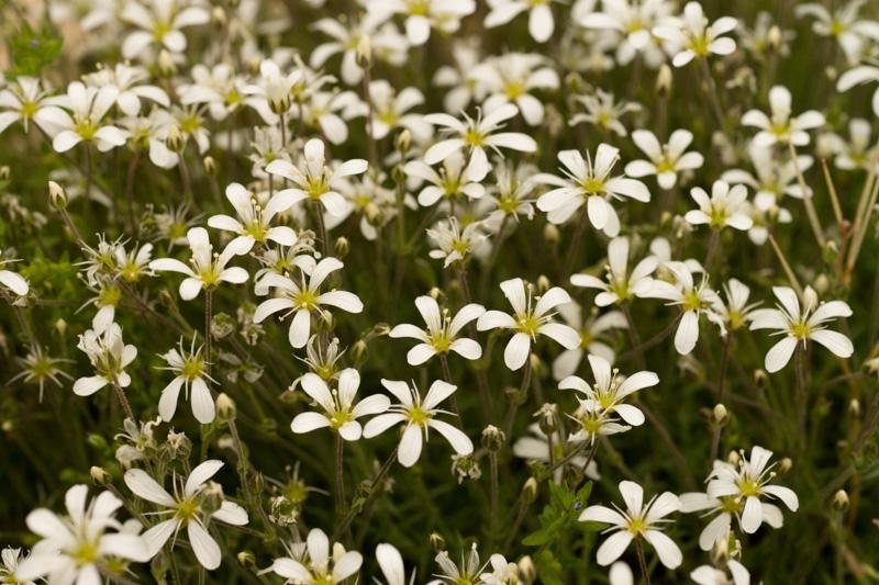 Arenaria grandiflora L. ( Sabline à grandes fleurs )
