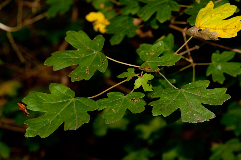 Acer campestre L. ( Érable )