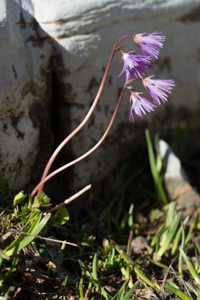 Soldanella alpina L. ( Soldanelle des Alpes  )