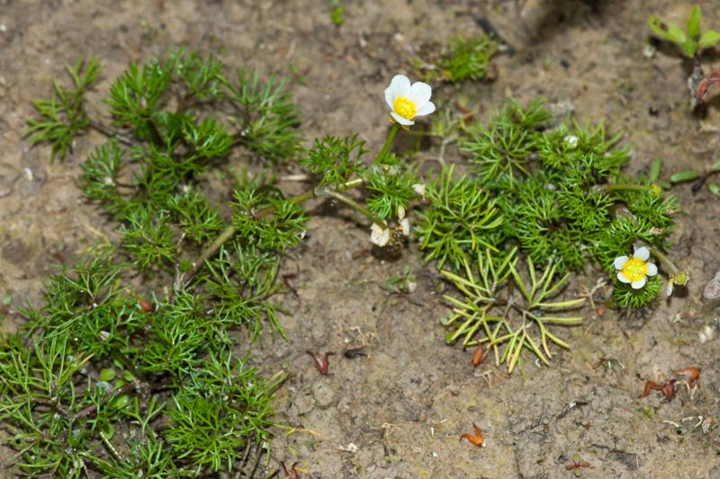 Ranunculus trichophyllus Chaix ( Renoncule à feuilles capillaires )