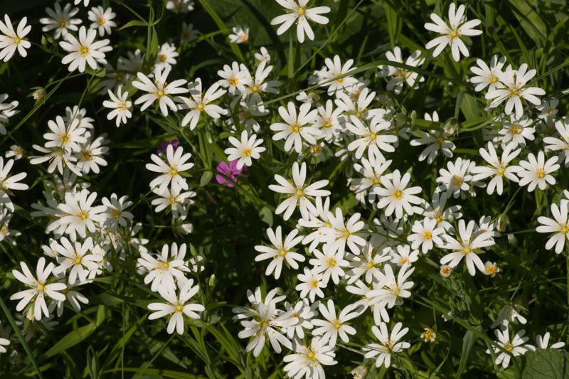 Stellaria holostea L. ( Stellaire holostée )