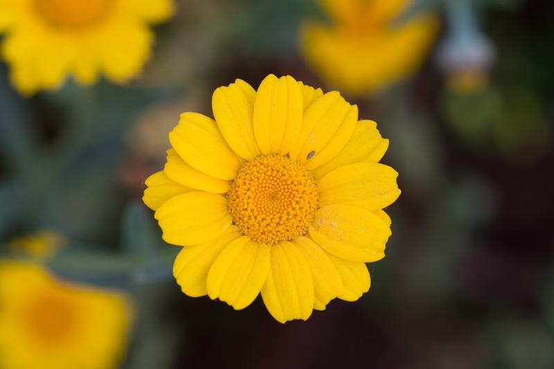 Glebionis segetum (L.) Fourr. ( Chrysanthème des blés )