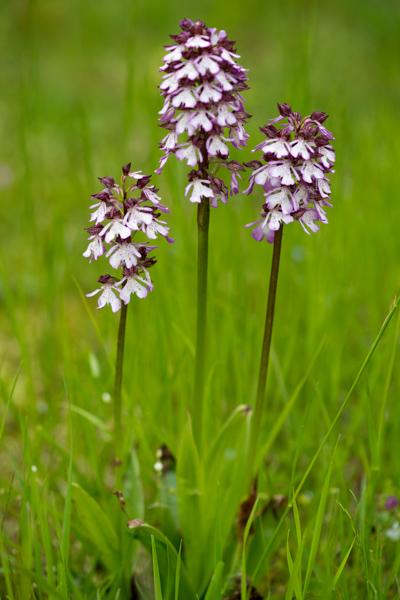 Orchis purpurea Huds. ( Orchis pourpre )