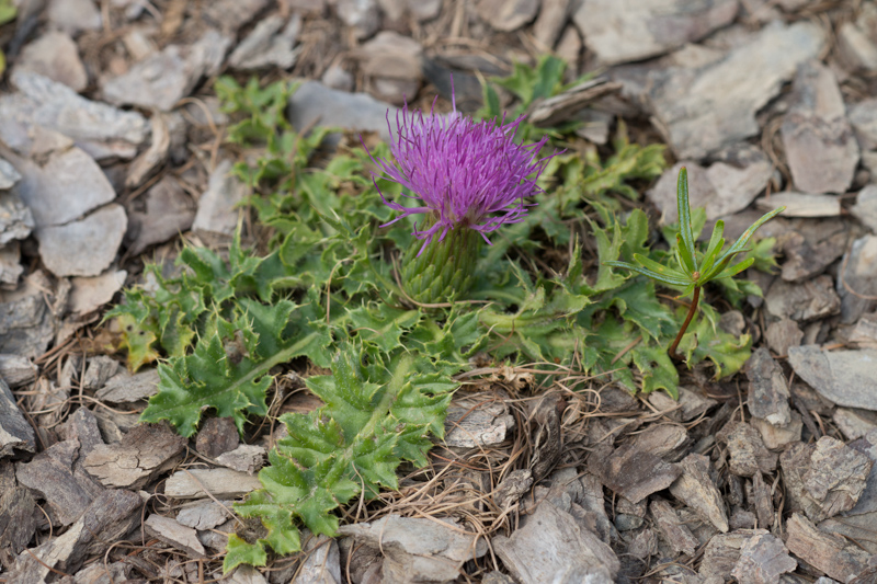 Cirsium acaulon (L.) Scop. ( Cirse acaule )