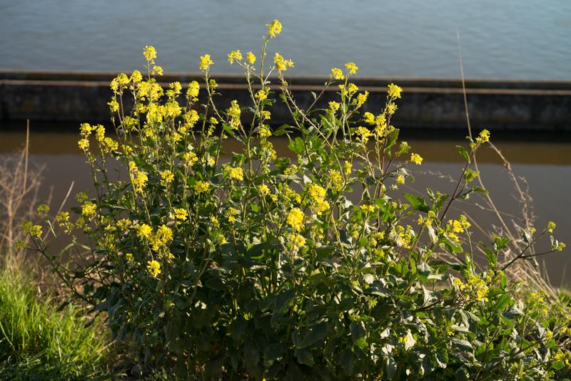 Brassica nigra (L.) W.D.J.Koch ( Moutarde noire )