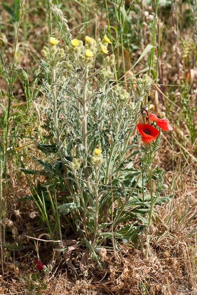 Andryala integrifolia L. ( Andryale à feuilles entières )