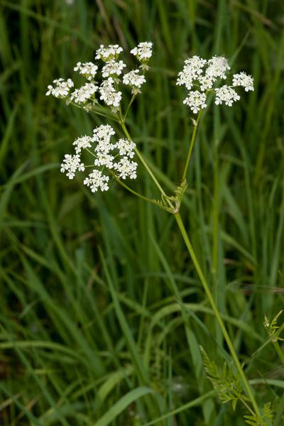 Anthriscus sylvestris (L.) Hoffm. ( Persil sauvage, Cerfeuil des bois )