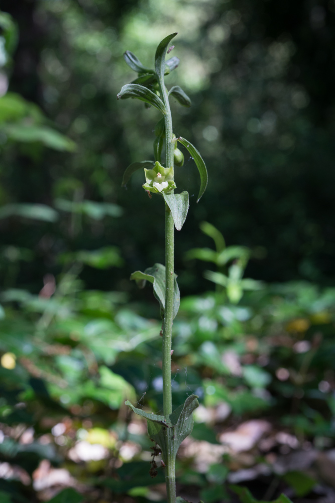 Epipactis phyllanthes G.E.Sm. ( Epipactis des dunes  )
