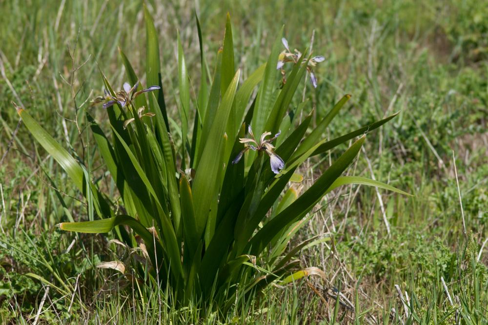 Iris foetidissima L. ( Iris fétide )