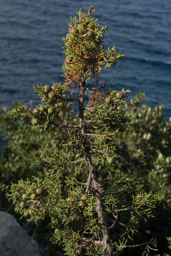 Juniperus phoenicea L. ( Genévrier de Phénicie )