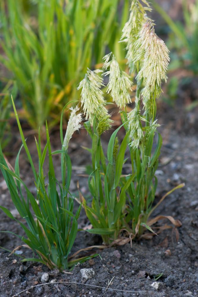 Lamarckia aurea (L.) Moench ( Lamarckie dorée )