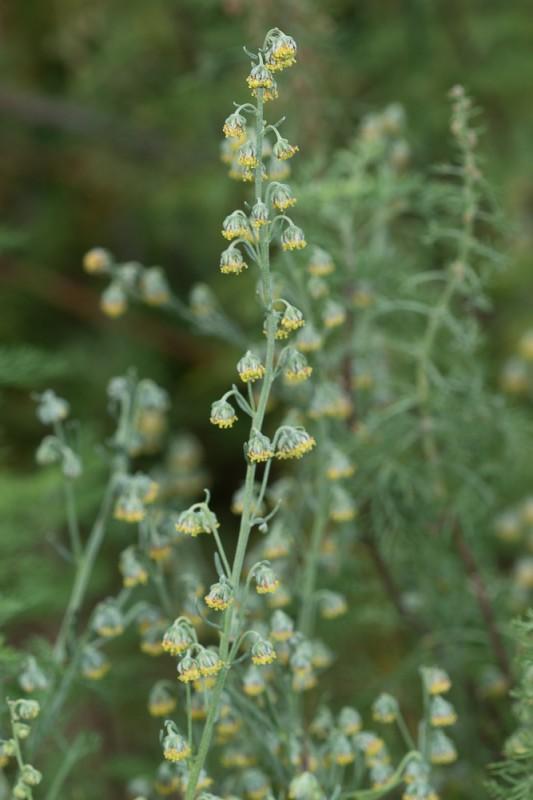 Artemisia alba Turra ( Armoise blanche )