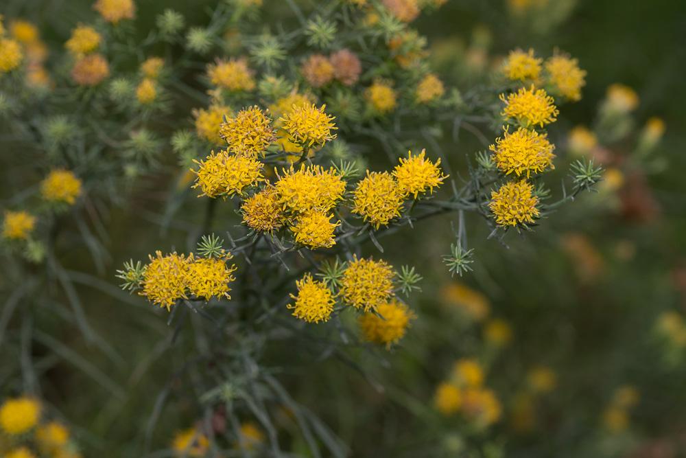 Galatella linosyris (L.) Rchb.f. ( Aster linosyris )