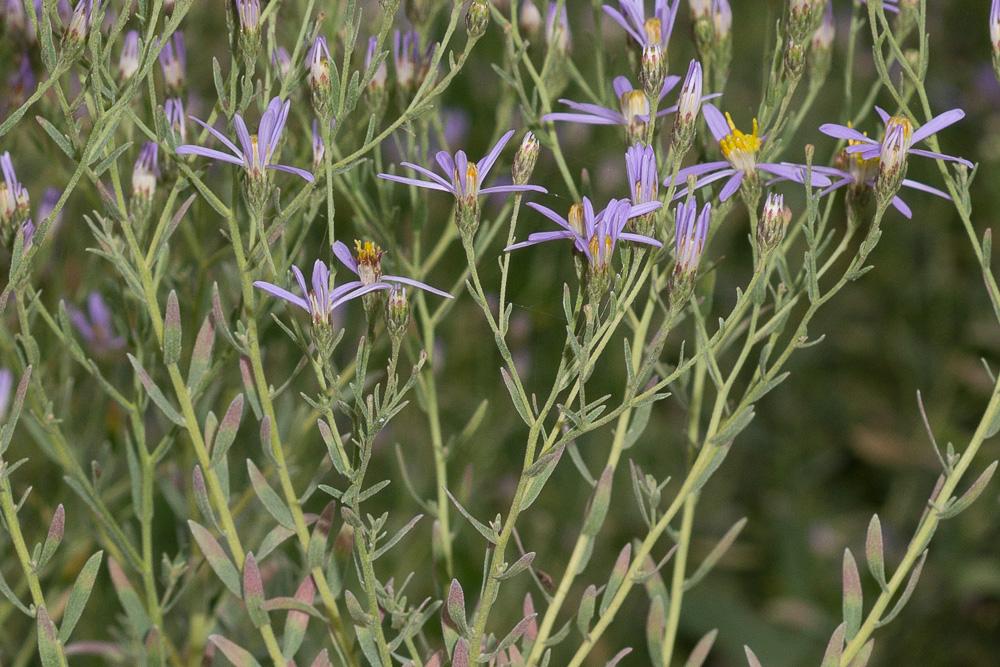 Galatella sedifolia (L.) Greuter ( Aster à feuille d'orpin )