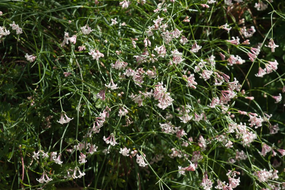 Asperula cynanchica L. ( Herbe à l'esquinancie )