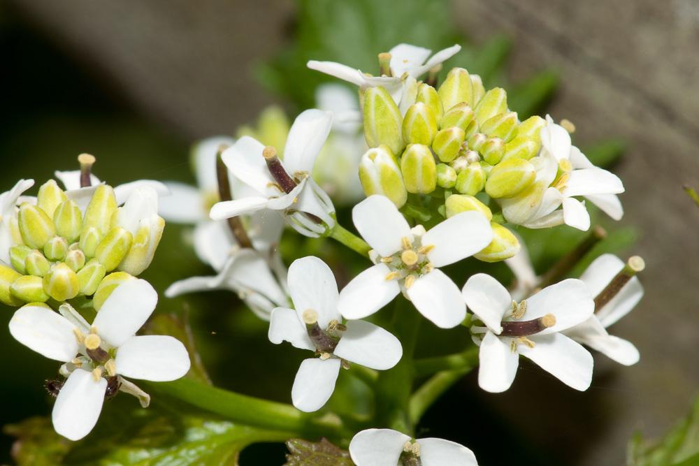 Alliaria petiolata (M.Bieb.) Cavara & Grande ( Alliaire )