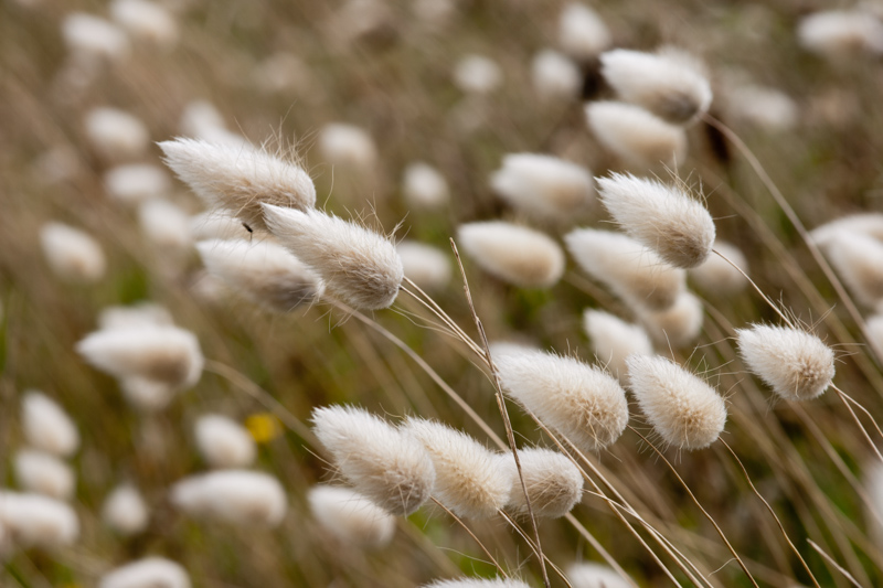 Lagurus ovatus L. ( Lagure queue-de-lièvre )