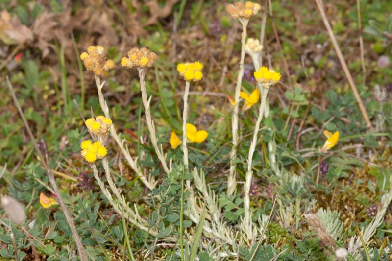 Helichrysum stoechas (L.) Moench ( Immortelle )