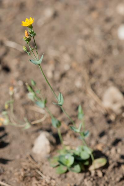 Blackstonia perfoliata (L.) Huds. ( Centaurée perfoliée )