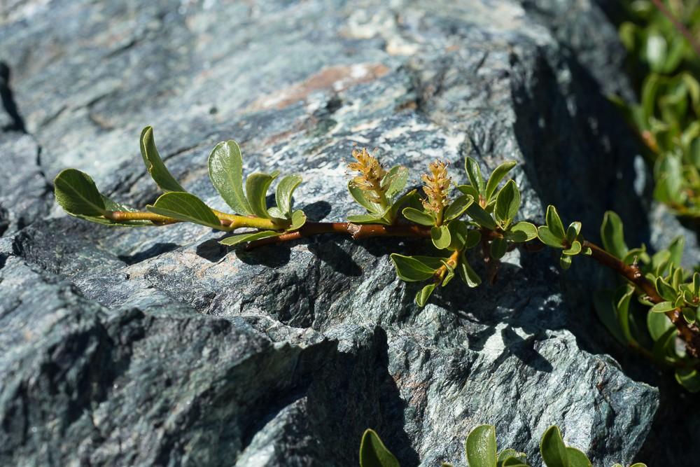 Salix retusa
