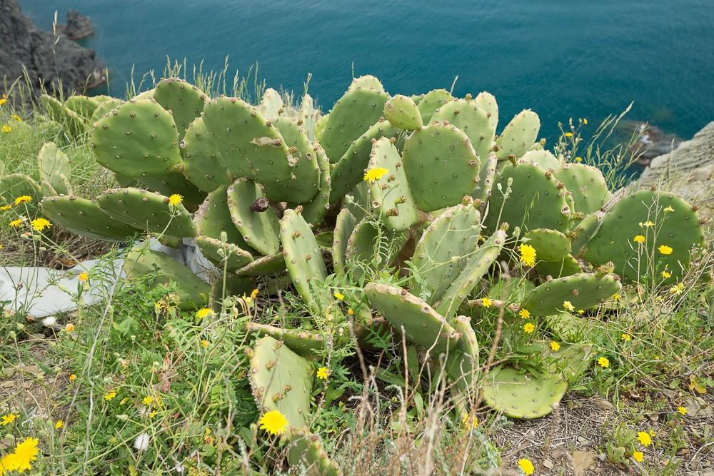 le figuier d'inde (Opuntia ficus-indica (L.) Mill.)