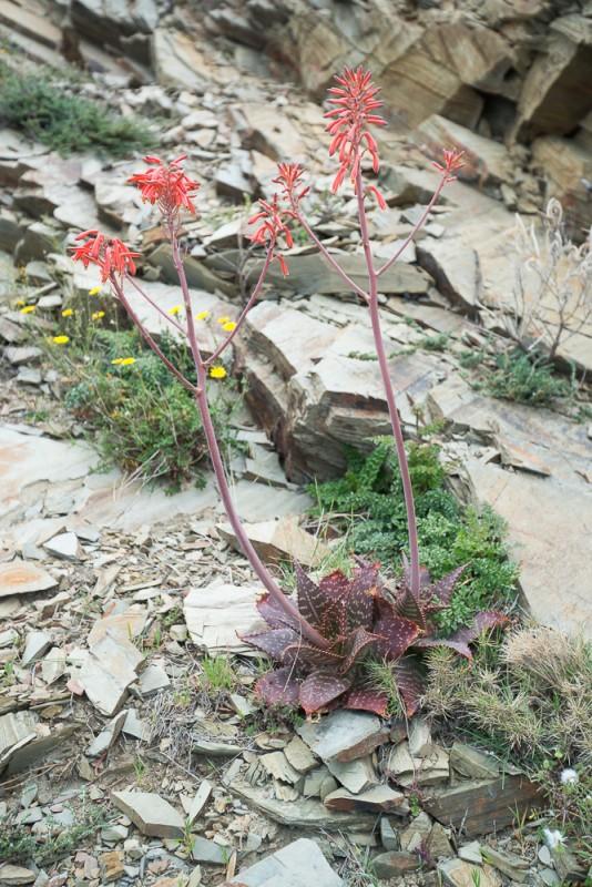 l'Aloès maculé (Aloe maculata All.)