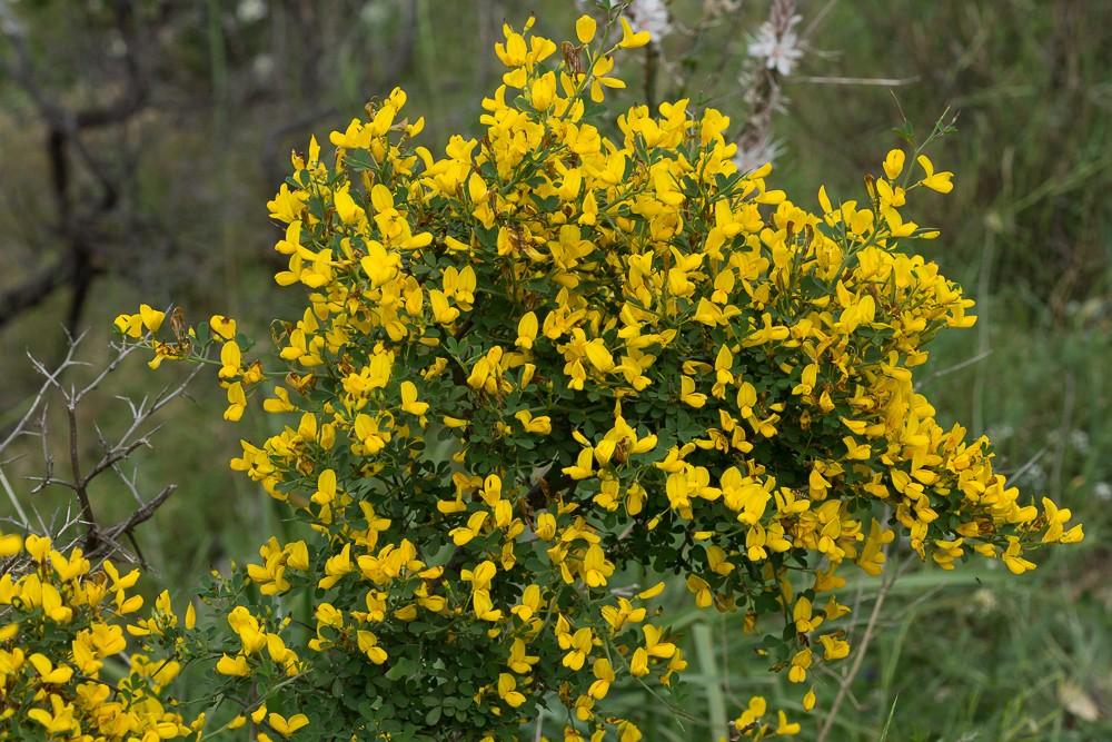 Cytises épineux (Cytisus spinosus (L.) Bubani)