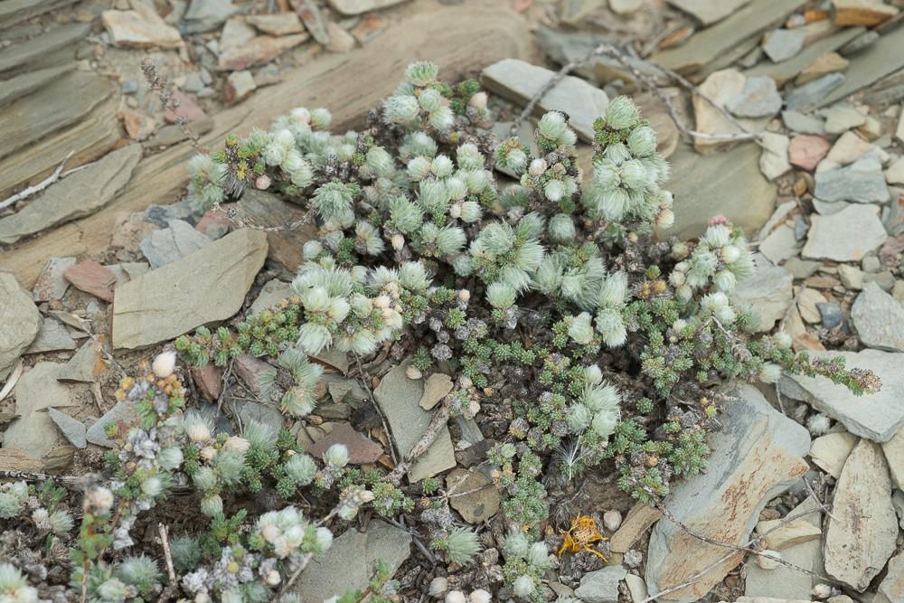 la Camphorine de Montpelier (Camphorosma monspeliaca L.)