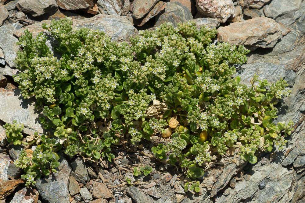 le polycarpon de Catalogne (Polycarpon polycarpoides subsp. catalaunicum O.Bolòs & Vigo)