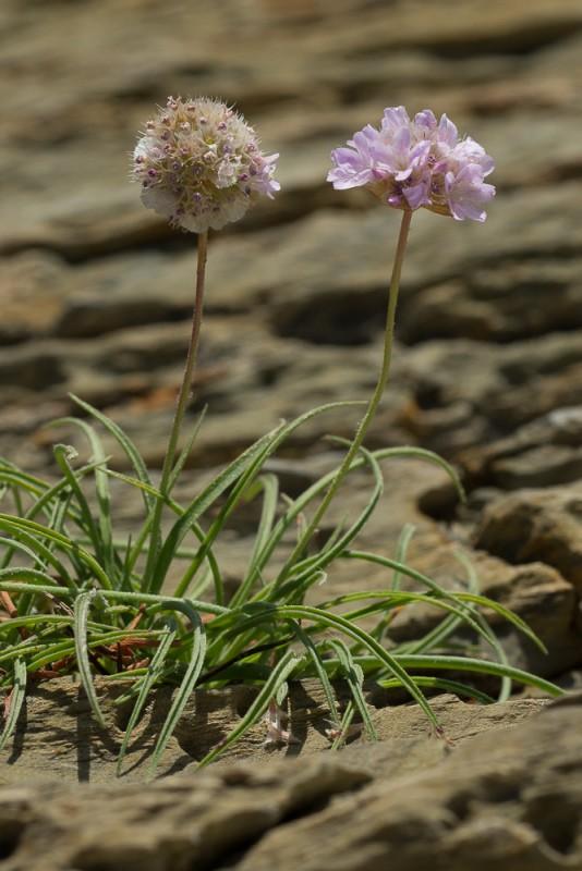 Armeria ruscinonensis Girard subsp. ruscinonensis