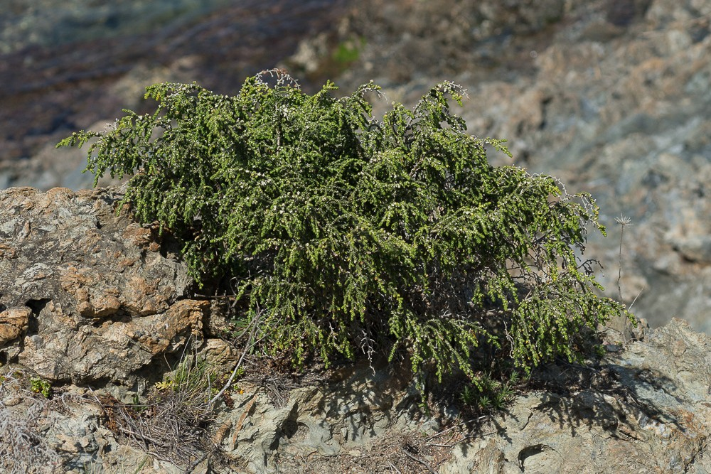 la Passerine hirsute (Thymelaea hirsuta (L.) Endl.)