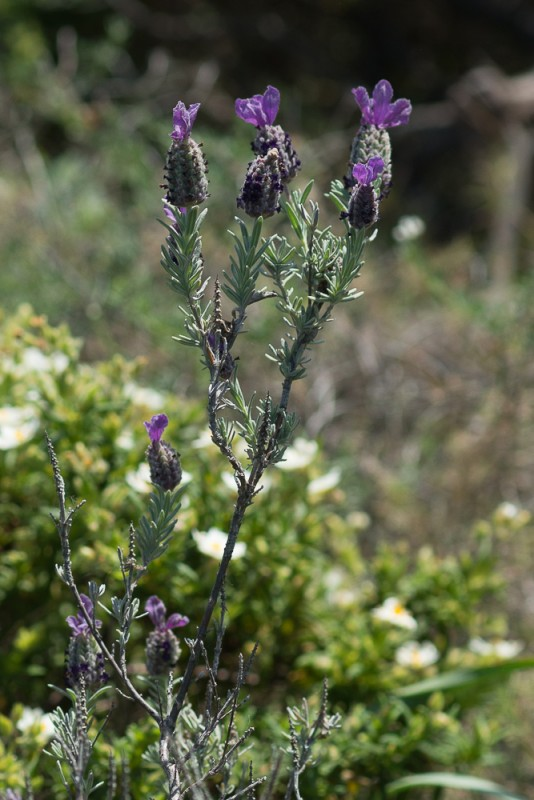 le Lavandin (Lavandula stoechas L.)