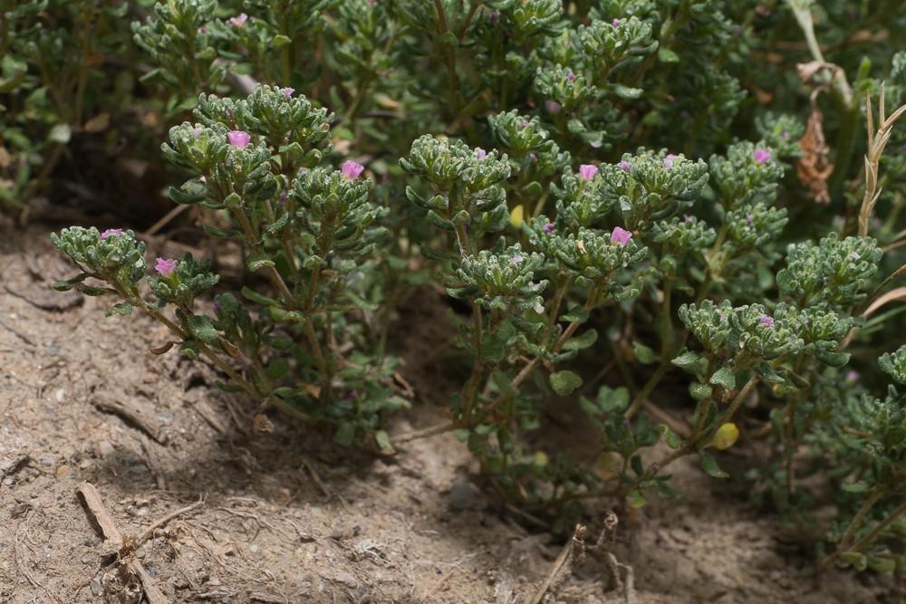 la Frankénie pulvérulente (Frankenia pulverulenta L.)