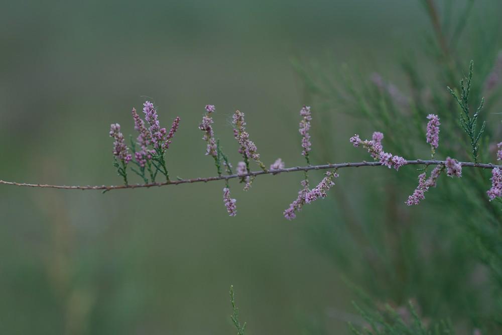 le Tamaris de France (Tamarix gallica L.)