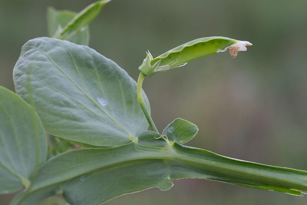 la Gesse ocre (Lathyrus ochrus (L.) DC.)