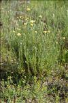 Photo 14/14 Helichrysum stoechas (L.) Moench