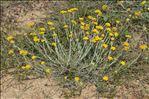 Photo 4/14 Helichrysum stoechas (L.) Moench
