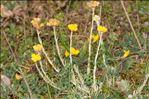 Photo 6/14 Helichrysum stoechas (L.) Moench