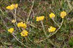 Photo 5/14 Helichrysum stoechas (L.) Moench