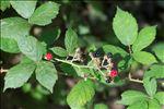Rubus fruticosus L.