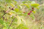 Photo 1/3 Rubus idaeus L.