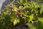 Photo 2/3 Rubus idaeus L.