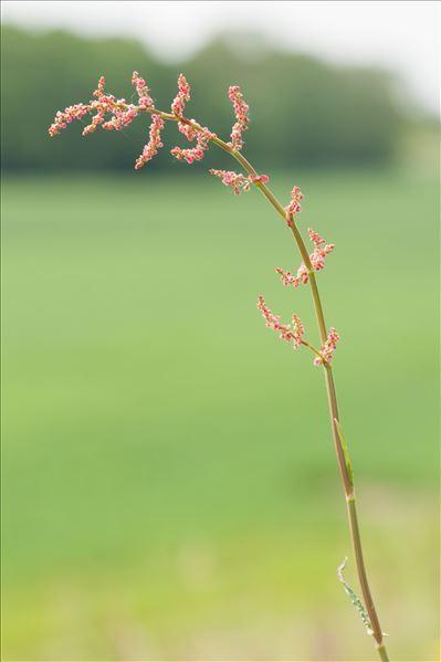 Rumex acetosa L. subsp. acetosa