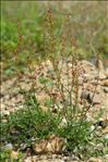 Photo 1/5 Rumex acetosella L.