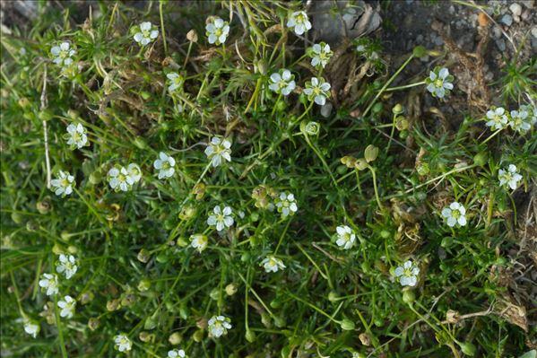 Sagina subulata (Sw.) C.Presl subsp. subulata
