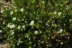 Sagina subulata (Sw.) C.Presl