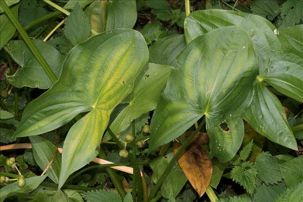 Sagittaria latifolia Willd.