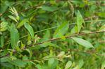 Salix aurita L.