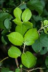 Photo 8/8 Salix caprea L.