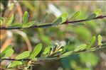 Photo 1/3 Salix purpurea L.